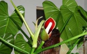 盆栽绿宝石喜林芋怎么水肥管理的方法