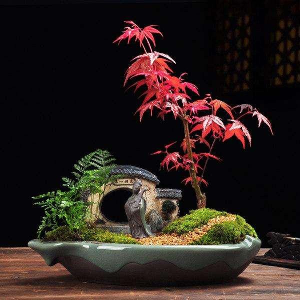 养殖枫树盆景怎么修剪和病虫害