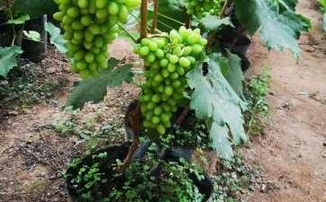 盆栽葡萄怎么架型培养的4个步骤