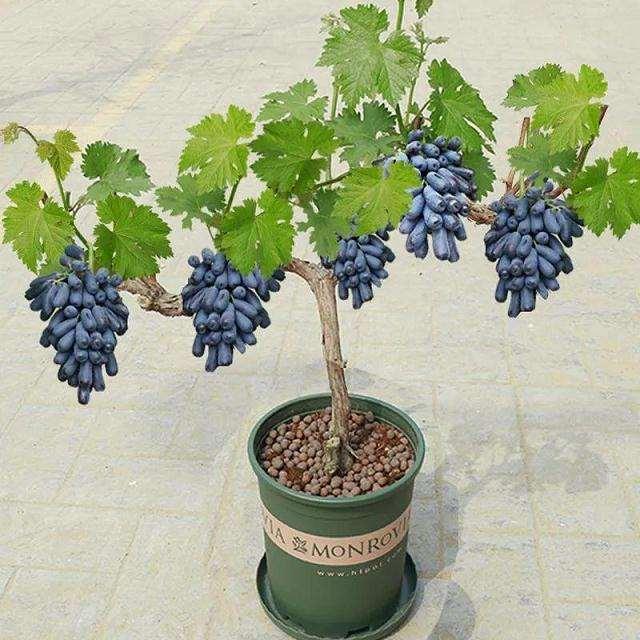 盆栽葡萄树体怎么造型管理