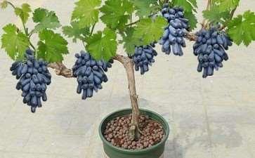 盆栽葡萄树体怎么造型管理的2个方法
