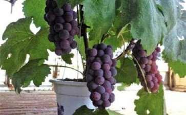 葡萄盆栽前怎么设施准备的2个方法