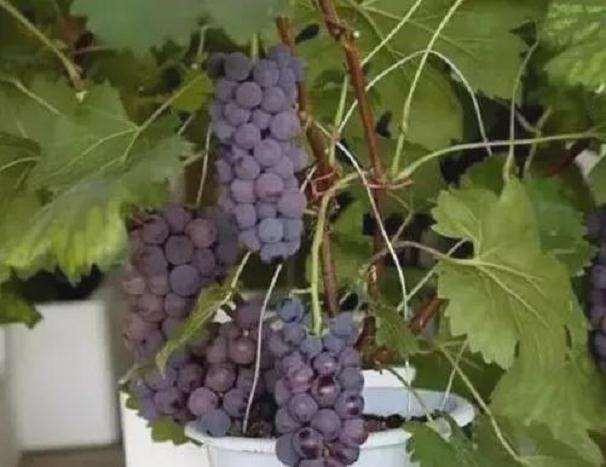 葡萄盆栽栽后怎么枝蔓管理的方法