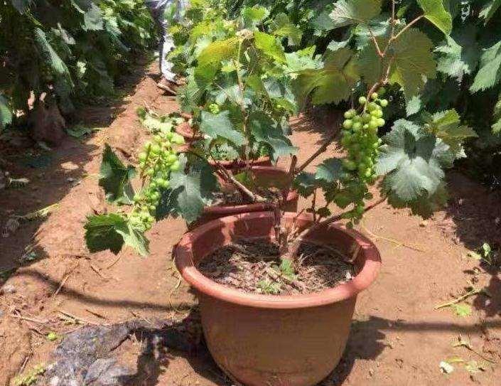 葡萄盆栽扣棚后怎么管理