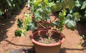 葡萄盆栽扣棚后怎么管理的3个方法