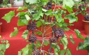 葡萄盆栽怎么精准搭配的枝蔓管理