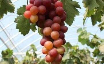 怎么提高葡萄盆栽坐果率的3个措施