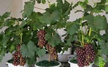 葡萄盆栽怎么整形修剪的3个方法