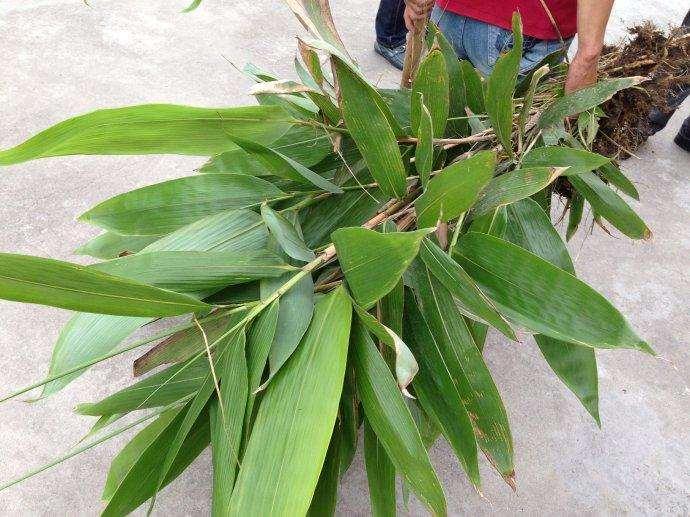 箬竹盆栽苗生物量怎么分配的影响