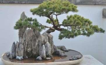 树木盆景怎么遮阴的3个方法