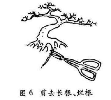 树木盆景怎么翻盆修剪