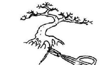 树木盆景怎么翻盆修剪的5个步骤