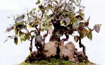 腊梅盆景怎么选盆用土的3个方法