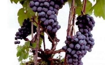 为什么葡萄盆栽必须选择芽位低的品种
