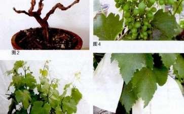 为什么葡萄盆栽必须每年换盆换土