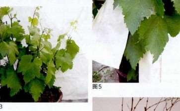 葡萄盆栽怎么浇水施肥的3个方法