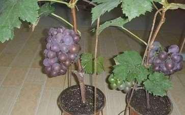 盆栽葡萄怎么盆土配置的3个方法 图片