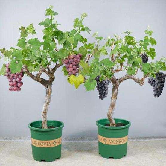 葡萄盆栽怎么花果管理
