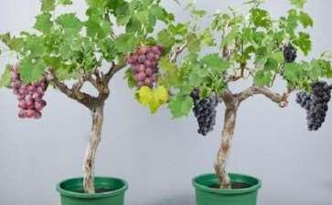 葡萄盆栽怎么花果管理的3个方法