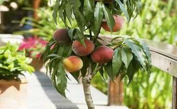 水蜜桃盆栽怎么授粉的3个方法