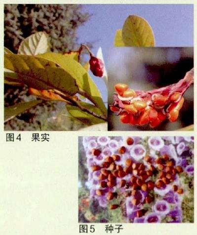 天女木兰怎么开花的过程