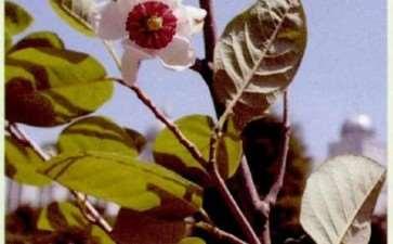 天女木兰花怎么开花的过程 图片