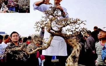 图解 吴成发怎么制作福建茶盆景的22个过程