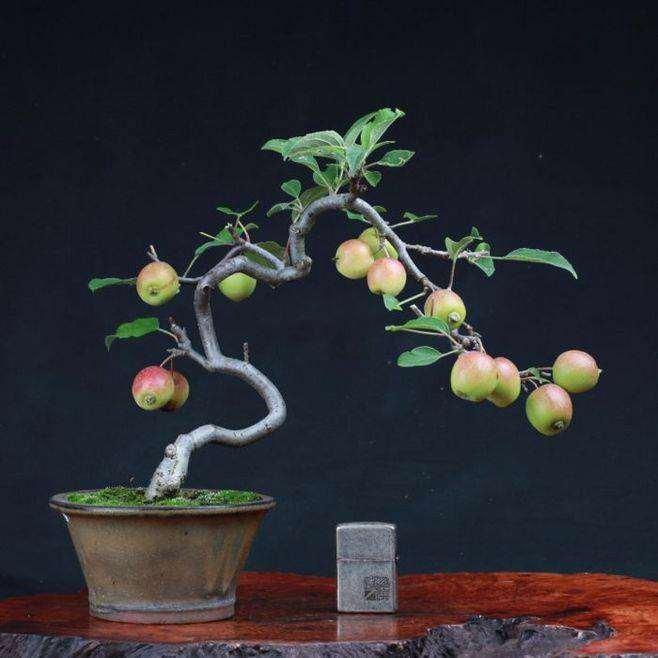 苹果盆景怎么夏季浇水修剪