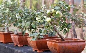 苹果盆景怎么秋季冬季管理的3个方法