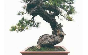 图解 松树盆景《扶摇》怎么改作的方法