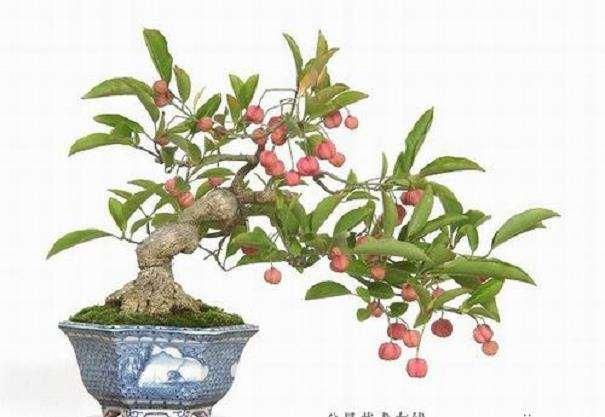 果树盆景怎么换盆管理