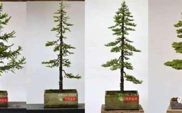图解 直干云杉盆景怎么培养的21个过程
