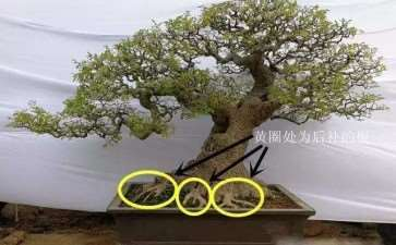 树木盆景怎么根盘的方法 图片