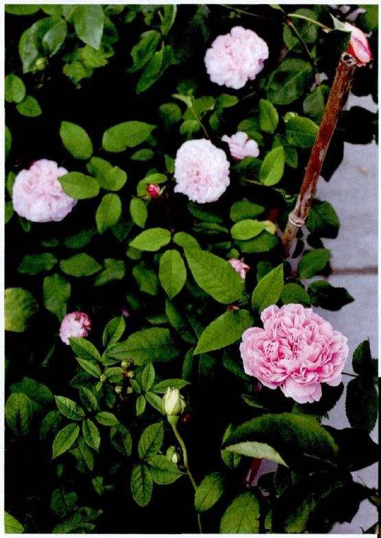 记录三款优雅的粉色欧月
