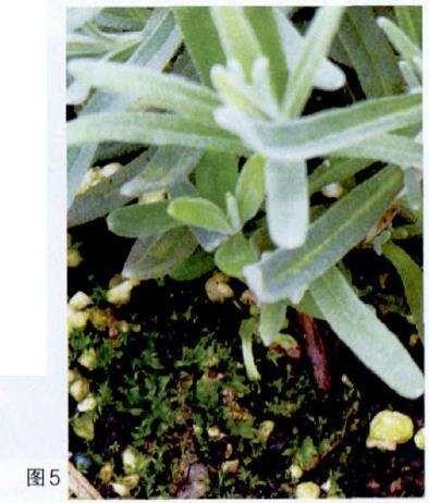 薫衣草盆栽营养生长期怎么养护