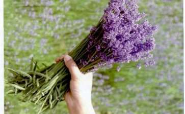 狹叶薰衣草盆栽怎么花后管理的3个方法