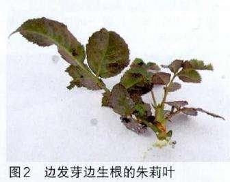 月季花的扦插季节和枝条选取