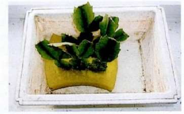蟹爪兰怎么用海绵扦插的3个方法