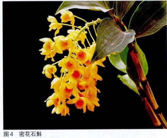 北京花卉市场上的石斛盆栽有哪些