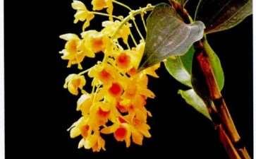 春石斛盆栽怎么栽培养护的5个方法