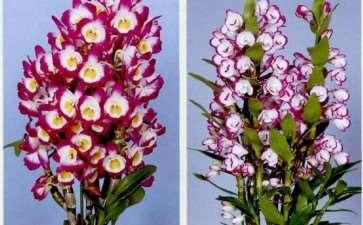 春石斛盆栽春夏秋怎么栽培的3个方法