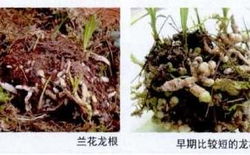 如何正确识别兰花的龙根苗 图片
