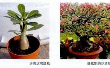 沙漠玫瑰是玫瑰的一种吗 怎么浇水施肥
