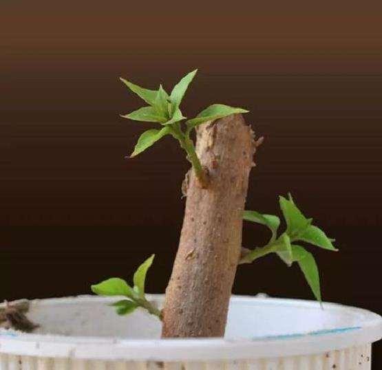 哪些盆景植物 粗大茎干可以扦插繁殖