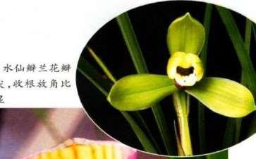 水仙瓣兰花怎么鉴赏的3个标准
