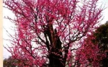 武汉东湖梅园800年梅花树迎来盛花期