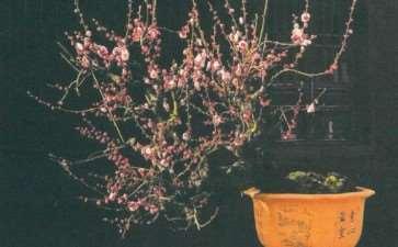 正是梅花盆景繁华时 图片