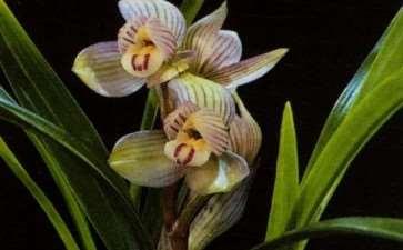 兰花缺磷肥的3个症状是什么 图片