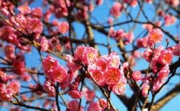 梅花的园林应用及欣赏浅析有哪些