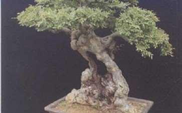 临沂曹相银的私家盆景园 图片